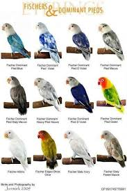 Lovebird Color Mutations Chart World Famous Types Of Colorful Love Birds Mutation Of The