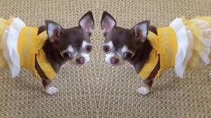 Чихуахуа и жёлтый <b>сарафан</b>. Обновляем гардероб к весне ...