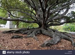 Moreton Bay Fig Tree High Resolution ...