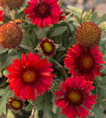 arizona red shades blanket flower monrovia arizona red shades blanket flower