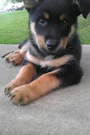 german shepherd rottweiler mix puppies.  Rottweiler My German Shepherd Rotweiller Mix Puppy This Looks So Much Like My Toby  When He Was A BabyI Mean Puppy With Shepherd Rottweiler Mix Puppies R