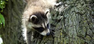 Raccoon Classification Chart Raccoon Nation Raccoon Fact Sheet Nature Pbs