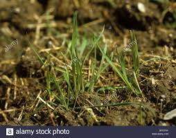 Grass Couch Couch Or Twitch Grass Agropyron Repens Fragmented Shoots Sooting