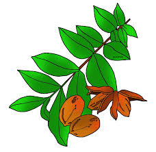 pecan tree clip art. Beautiful Tree Free United States Clip Art By Phillip Martin Texas State Tree With Pecan Clipart Library