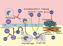 High Density Lipoprotein Wikipedia
