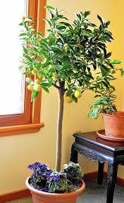 Best 25 Kumquat Fruit Ideas On Pinterest  Confiture De Kumquat Kumquat Tree Not Bearing Fruit