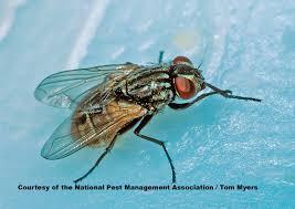 Small Black Flies In Kitchen Flies Facts About Flies Types Of Flies Pestworldforkidsorg