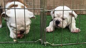 English Bulldog Price Chart Kona And Lua The English Bulldog Puppies Eat A Raw Chicken Breakfast