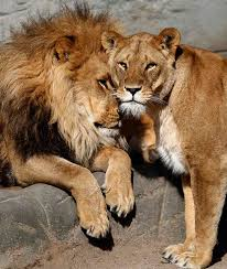 lioness and lion cuddle. Beautiful And Lion Named Carbora Cuddles With A Lioness In Their Enclosure At The  Hagenbeck Zoo Hamburg To Lioness And Cuddle