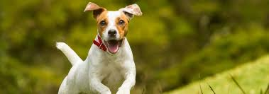 Jack Russell Terrier Dog Breed Facts And Traits Hills Pet