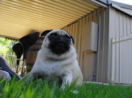 this is my pug cooper he is