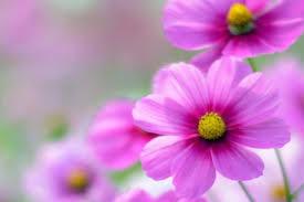 flower wall paper download hd flower wallpaper for mobile free download 34 free download