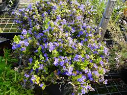 Angus S Top Ten Australian Plants For Colour Gardening With Angus