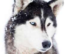 husky eskimo dog