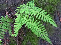 Polysichum dudleyi, Dudley's shield fern | Located on creek … | Flickr
