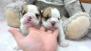 teacup english bulldog full grown. Micro Teacup English Bulldog Puppies For Sale To Full Grown