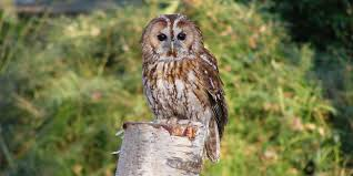 Image result for tawny owl
