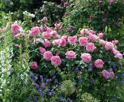 best david austin roses david austin roses for borders great roses top roses