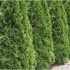 9.64-Gallon Emerald Green Arborvitae Screening Shrub (L5480)