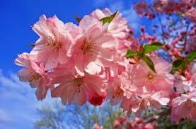 Bunga Sakura Nggak Asal Datang Ini Aturan Melihat Bunga Sakura Guideku Com