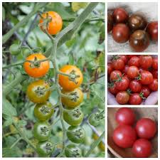 Cherry Tomato Round Up The Best Varieties For Your Garden