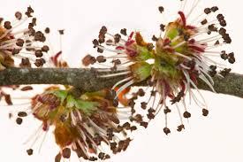 Resultado de imagem para floral elm
