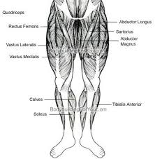 Legs Muscle Chart Front Jpg Anatomy Your Fingertips