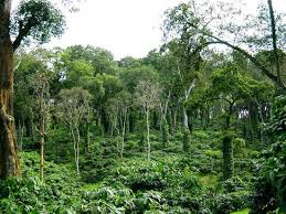 shade grown coffee plantation. Beautiful Grown What Growing Coffee Is All About Inside Shade Grown Coffee Plantation E