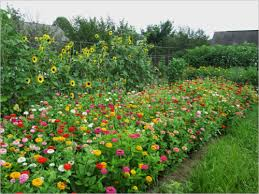 marian fuch s photo essay on our garden collington residents bill takes over unused plots and fills them flowers like the zinnias being enjoyed by the butterflies above
