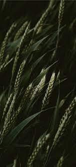 selective focus photo of green wheats ...