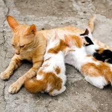 orange kittens nursing on a mother cat