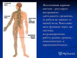 Презентация на тему Реферат Нарушения работы нервной системы  4 Вегетативная