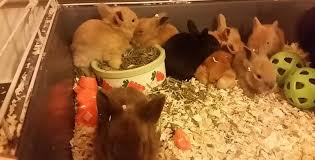 caring for young lionhead rabbit bunnies