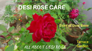 desi rose tips and care hindi urdu द श ग ल ब क स लग ए all about desi rose and uses terrace garden channel
