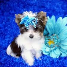 white teacup yorkie puppies for sale. Exellent Puppies Parti Yorkie Puppy In White Teacup Puppies For Sale