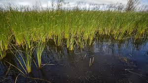 wild rice plant. Simple Plant Wild Rice Seeds Sit On The St Louis River And Rice Plant L