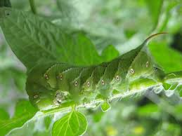 the tomato hornworm blends well with its surroundings these common garden pests are susceptible to