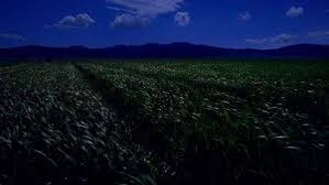 tall green grass field. A Grassy Country Dirt Road, Surrounded By Fields Of Tall Green Grass Blowing In The Field
