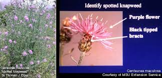 Image result for knapweed photos