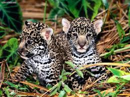 baby jaguar wallpaper. Wonderful Jaguar 1600x1200 To Baby Jaguar Wallpaper