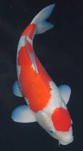 Maruten Kohaku Isa Koi, not a goldfish but related