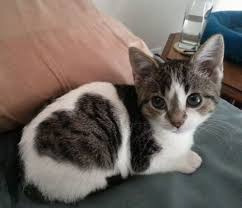 Kitten with heart marking on side