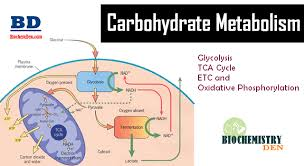 Carbohydrate Metabolism Chart Basic Overview Of Carbohydrate Metabolism