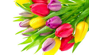 Free download Colorful Tulip Flowers HD ...