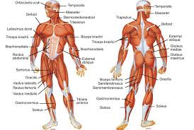 Muscles Of The Body Im A Pta Student And Am Learning The