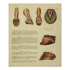 Vintage 1900 Horse Foot Hoof Anatomy Print