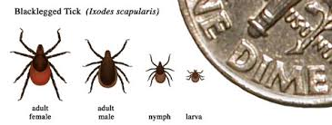 Cdc Tick Identification Chart Transmission Lyme Disease Cdc