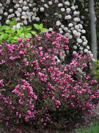 Favorite California Native PlantsShrub With Pink Flowers