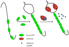 genes full text control of initiation of dna replication  no