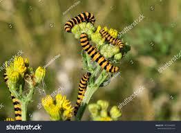 Yellow Caterpillar Identification Chart Cinnabar Moth Caterpillars Eating Yellow Common Stock Photo